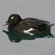 Male. Note: feathered bill base and white patch on eye.